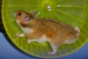 Radjelopende hamsters zijn geen sneuë slaafjes.